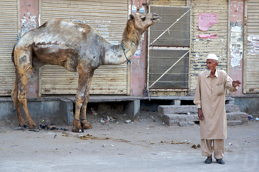 A hairless Camel, General Street scene in Bikaner located in the Thar Desert,Rajasthan India,