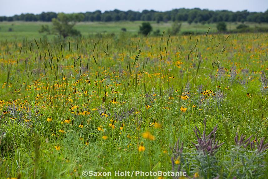 Summer wildflowers and grasses flowering in Nature Conservancy Joseph H. Williams Tallgrass Prairie Preserve, Oklahoma, Ratibida columnifera Mexican Hat, Wildrye Elymus virginicus, Leadplant, and Blackeye Susans