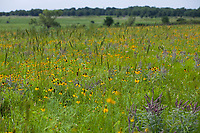 Summer wildflowers and grasses flowering in Nature Conservancy Joseph H. Williams Tallgrass Prairie Preserve, Oklahoma, Ratibida columnifera Mexican Hat, Wildrye Elymus virginicus, Leadplant, and Blackeye Susans