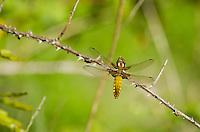 Female Broad-bodied Chaser {Libellula depressa}