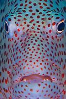 Blackside hawkfish, Paracirrhites forsteri, French Frigate Shoals, Papahanaumokuakea Marine National Monument, Northwestern Hawaiian Islands, Hawaii, USA, Pacific Ocean