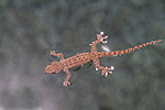 Asian House Gecko supported by the surface tension of water after it falls into a suburban swimming pool.   //   Asian House Gecko - Geckonidae: Hemidactylus frenatus. Body length to 6cm + tail 5cm. Introduced to Australia from original distribution in  south-east Asia, now colonising many coastal Australian cities and towns from the Kimberley Region in northern Western Australia eastwards to central New South Wales. Transported mainly by road, it may eventually be expected throughout the mainland. Frequent occupant of houses and buildings with lights on at night. Mainly insectivorous, but eats varied prey of suitable size. Has a distinctive loud 'tok-tok-tok' call. IUCN Status: Least Concern.  Asian House Gecko supported by the surface tension of water after it falls into a suburban swimming pool.   //   Asian House Gecko - Geckonidae: Hemidactylus frenatus. Body length to 6cm + tail 5cm. Introduced to Australia from original distribution in  south-east Asia, now colonising many coastal Australian cities and towns from the Kimberley Region in northern Western Australia eastwards to central New South Wales. Transported mainly by road, it may eventually be expected throughout the mainland. Frequent occupant of houses and buildings with lights on at night. Mainly insectivorous, but eats varied prey of suitable size. Has a distinctive loud 'tok-tok-tok' call. IUCN Status: Least Concern.