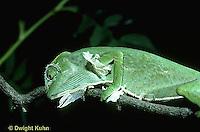 CH12-002z  African Chameleon - molting skin, rubbing off old skin on a branch - Chameleo senegalensis