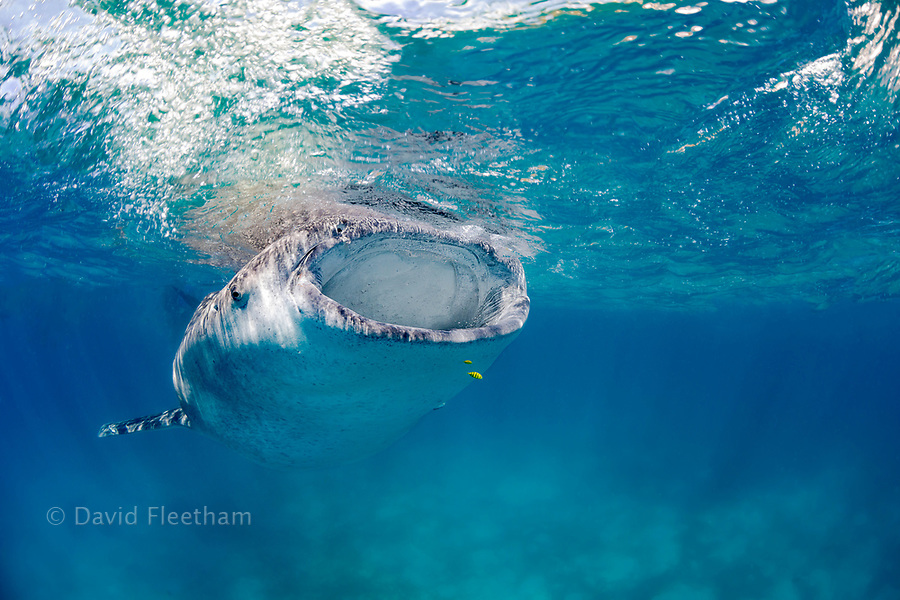A whale shark, Rhiniodon typus, with its mouth open, filter feeding at the surface, Philippines. This is the worlds largest species of fish.