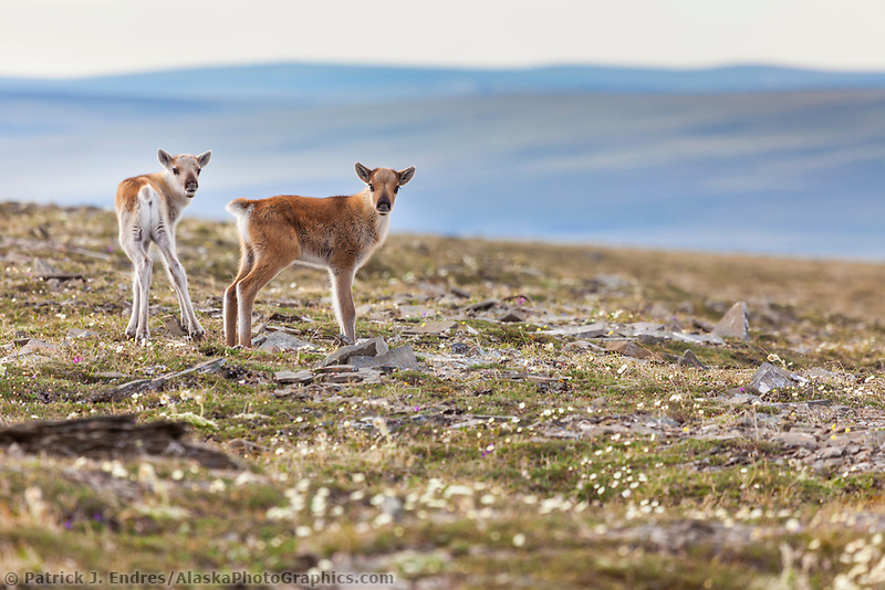 New born caribou calves of the Western arctic caribou herd, Utukok Uplands, National Petroleum Reserve Alaska, Arctic, Alaska.