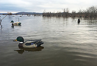 NWA Democrat-Gazette/FLIP PUTTHOFF <br /> Mallard decoys bob on the water Dec. 28 2018 at Beaver Lake. Hunters hope decoys will lure high-flying ducks to circle their spread, cup wings and glide into shotgun range.