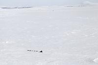 Tuesday March 13, 2012  Ken Anderson on Golovin Bay nearing White Mountain. Iditarod 2012.