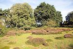 Holm oak tree heather heathland Shottisham heath, Suffolk, England