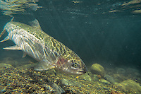 Rainbow Trout or Steelhead (Oncorhychus mykiss) on Pacific Northwest river on migration to spawning bed.  Steelhead are rainbow trout that have gone to the ocean for several years.  Steelhead are now classified as salmon.