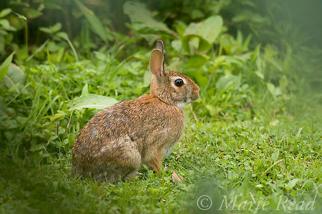 Eastern Cottontail (Sylvilagus floridanus), New York, USA