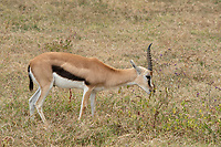 Thomson's Gazelle, Eudorcas thomsonii, grazing in Ngorongoro Crater, Ngorongoro Conservation Area, Tanzania