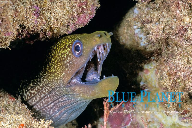 undulated moray eel Gymnothorax undulatus, night Black Rock, Kaanapali, West Maui, Hawaii