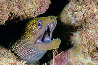 undulated moray eel Gymnothorax undulatus, night Black Rock, Kaanapali, West Maui, Hawaii