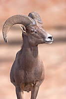 A desert bighorn sheep in Valley of Fire State Park in Nevada.