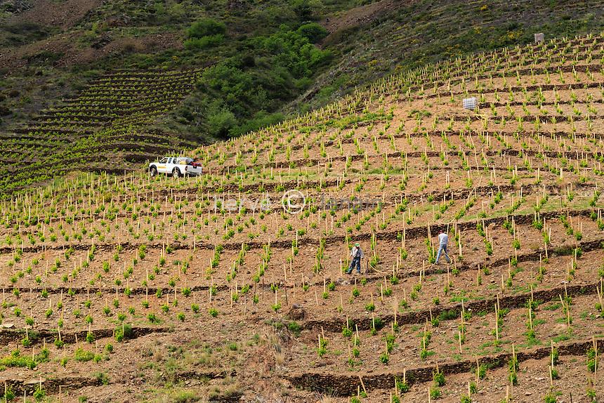 France, Pyrénées-Orientales (66), Cerbère, vignoble AOC de Banyuls, arrosages des pieds de vigne récemment plantés // France, Pyrenees Orientales, Cerbere, the vineyard of  Banyules