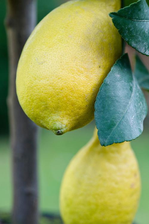 Container-grown lemon tree.
