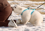 February, 1995:   Klondike tries to get the attention of zookeeper Cindy Bickel, who is busy exercising Klondike's sister, Snow, Friday at the Denver Zoo. The polar bears were born Nov. 6, and each has overcome rickets. The 33-pound Klondike can walk. Snow, at 28 pounds, still has trouble. The bears are the zoo's top attraction. By Ellen Jaskol / Rocky Mountain News...polar bear bite