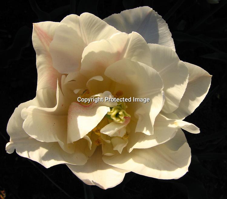 Tulip2124montreuxa2g lia chang photography mightylinksfo