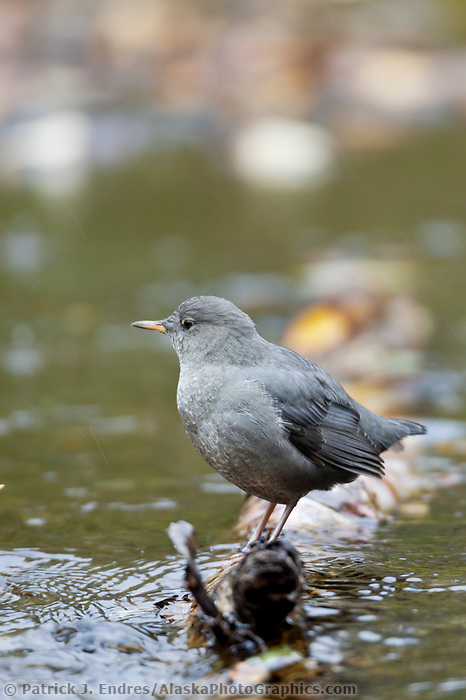 American dipper perches on a log along a stream in the Chugach National Forest, Kenai Peninsula, southcentral, Alaska.