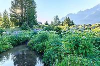 France, Hautes-Alpes (05), Villar-d'Arène, jardin alpin du Lautaret le matin, à droite plantes des Pyrénées (valériane des Pyrénées...), à gauche plantes de Sibérie (Iris siberica...)