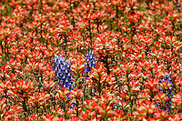 Bluebonnets among Indian Paintbrush, Llano, Texas