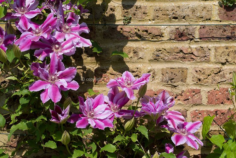 Clematis 'Love Jewelry' vine, pink and light pink, striped