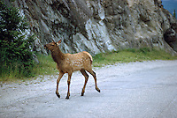 Jasper National Park, Canadian Rockies, AB, Alberta, Canada - Elk Calf, Wapiti (Cervus canadensis), walking on Rural Road