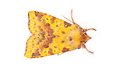 Pink-barred Sallow moth {Xanthia togata} photographed in mobile field studio on a white background. The National Forest, Leicestershire, UK. September.