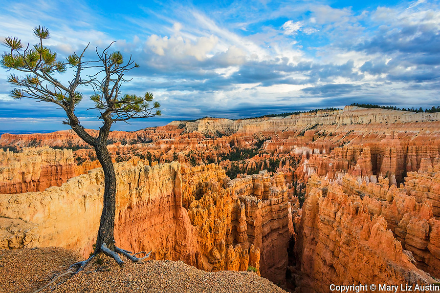 Bryce Canyon National Park, UT: Pine tree on the rim edge overlooking the Bryce Canyon Ampitheater