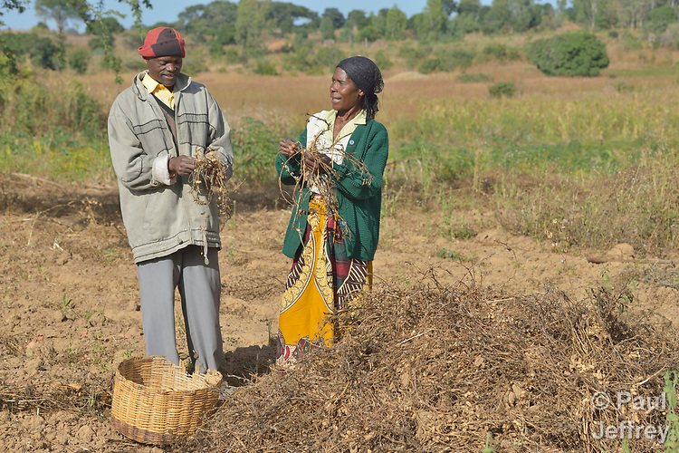 Agnes Tembo and her husband Geoffrey Nkhambule harvest peanuts on their farm in Edundu, Malawi. Families in the village have benefited from intercropping, crop rotation, and composting practices they learned from the Malawi Farmer-to-Farmer Agro-Ecology project of the Ekwendeni Mission Hospital AIDS Program, a program of the Livingstonia Synod of the Church of Central Africa Presbyterian.