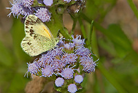 390230002 a wild dainty sulphur nathalis iole perches on a flower at  the naba site in mission hidalgo county lower rio grande valley texas united states