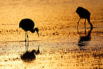 Sandhill cranes and other birds