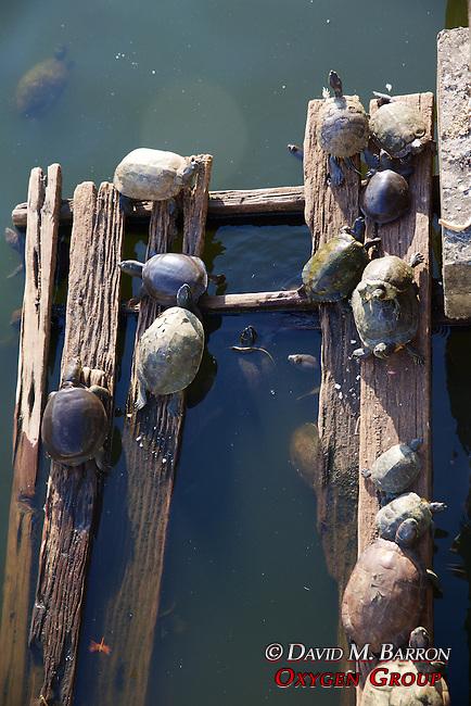 Turtles In Pond, Maha Vijaya Pagoda