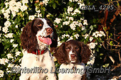 Bob, ANIMALS, REALISTISCHE TIERE, ANIMALES REALISTICOS, dogs, photos+++++,GBLA4295,#a#, EVERYDAY
