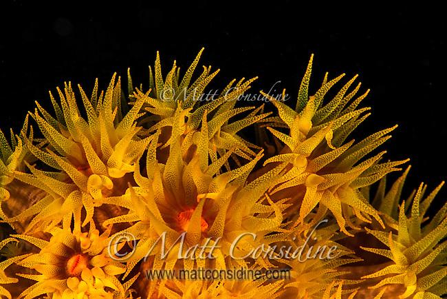Vibrant sea anemone. (Photo by Wildlife Photographer Matt Considine)