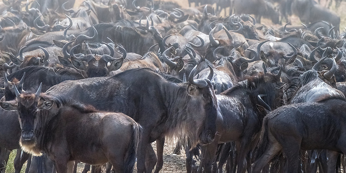 Wildebeast head north through the Serengetti towards Kenya in search of sustenance.