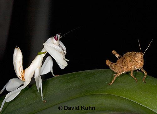 "0719-07ww  Malaysian Orchid Mantis Hunting Prey - Hymenopus coronatus ""Nymph"" - © David Kuhn/Dwight Kuhn Photography."
