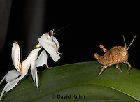 "0719-07ww  Malaysian Orchid Mantis Hunting Prey - Hymenopus coronatus ""Nymph"" - © David Kuhn/Dwight Kuhn Photography."
