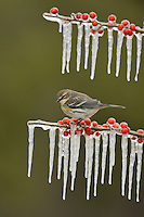 Yellow-rumped Warbler (Dendroica coronata),  adult perched on icy branch of Possum Haw Holly (Ilex decidua) with berries, Hill Country, Texas, USA