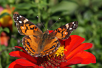The Cynthia group of colourful butterflies, commonly called painted ladies, comprises a subgenus of the genus Vanessa in the Family Nymphalidae.