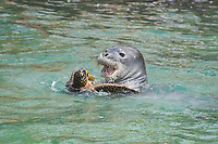 Hawaiian monk seal, Neomonachus schauinslandi, 2.5 year old male playing with unwilling green sea turtle or honu, Chelonia mydas, Pu'uhonua o Honaunau ( City of Refuge ) National Historical Park, Kona, Hawaii ( Big Island ) Hawaiian Islands, USA, ( Central Pacific Ocean )