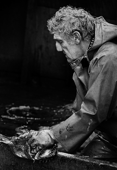 Barrie Howes, a fisherman for forty years, gutting monkfish, on PZ 198, the 'Aaltje Adriaantje', working out of Newlyn, Cornwall, England.<br /> <br /> Now considered a 'luxury' seafood, monkfish has only become popular in the U.K. in last 20 years and is now highly sought after.