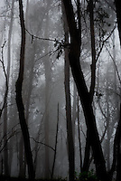If you go down to the woods today ... - Gum trees in mist in the Snowy Mountians, Australia