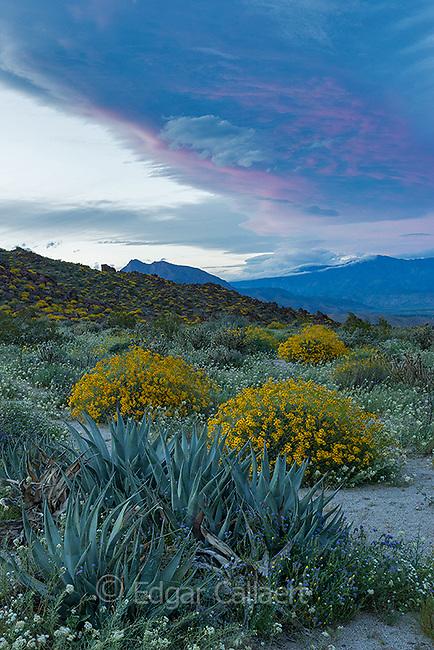 Dusk, Agave, Brittlebush, Glorietta Canyon, Anza-Borrego Desert