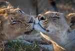 Kenya, Maasai Mara National Reserve, African lion (Panthera leo)