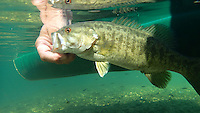 NWA Democrat-Gazette/FLIP PUTTHOFF <br /> Fishing for Elk River smallmouth bass slows down when the water cools. This smallmouth is released     Nov. 11 2016    after being caught with a tube bait.