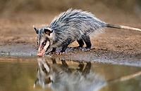 669300002 a wild juvenile virginia opossum didelphis virginiana cautiously drinks from a small pond on beto gutierrez santa clara ranch hidalgo county lower rio grande valley texas united states