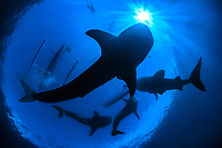 Whaleshark, Rhincodon typus, Snorkeler observing four whalesharks, Gorontalo, Central Sulawesi, Indonesia, Indonesien