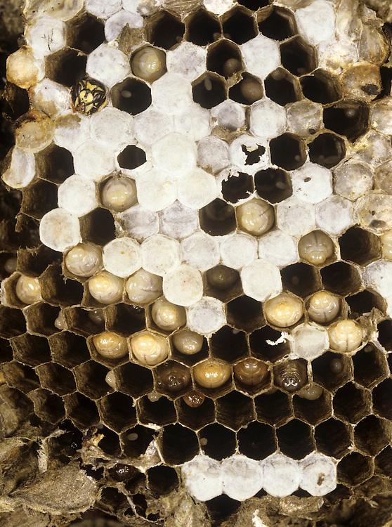 Nest of Common Wasp - Vespula vulgaris