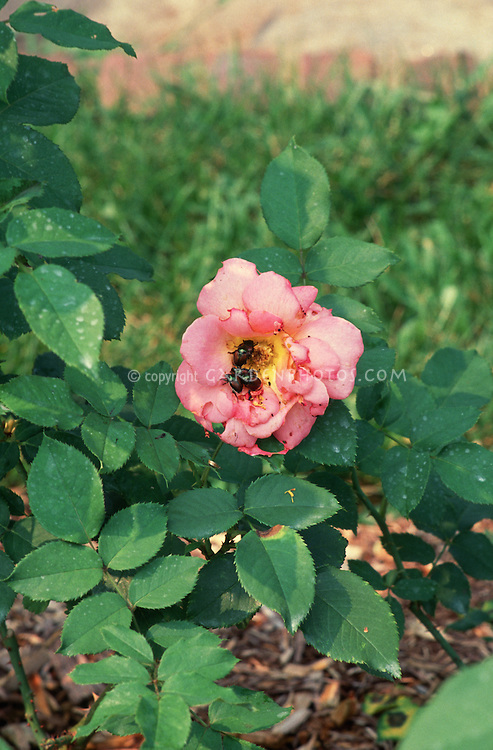 Japanese beetle damage to rose flowers and foliage (Rosa 'Electron')